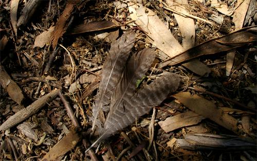 Owlet Nightjar tail feathers