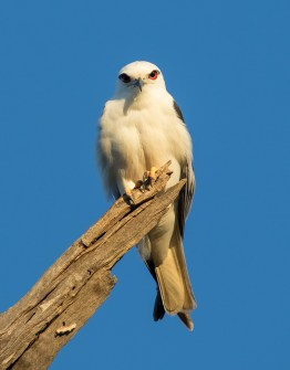 Black-shouldered Kite, Picnic Point, 8th December 2015.
