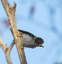 Varied Sitella, Muckleford State Forest, 10th December 2015.