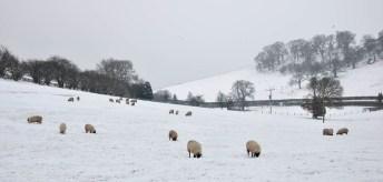 No fun for sheep