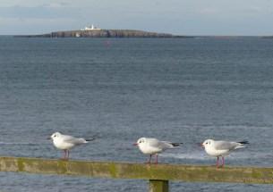 Seahouses gulls