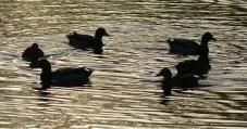 Duck-go-round