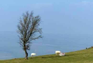 Hill sheep near Castle Ring