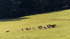 Mary Knoll deer