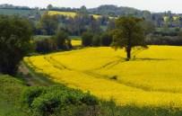 Sunshine fields at Berrington