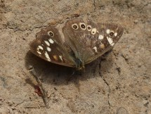 Watch your step - speckled wood