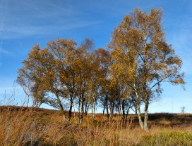Birch on the Chase