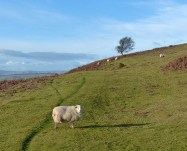 Sheep below the hill fort