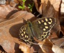 ... and first speckled wood