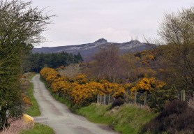 Gorse beside the lane
