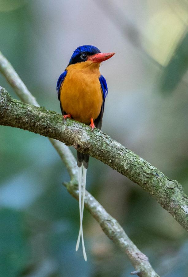 Buff-breasted paradise kingfisher