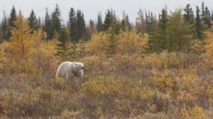 polar-bear-image-2