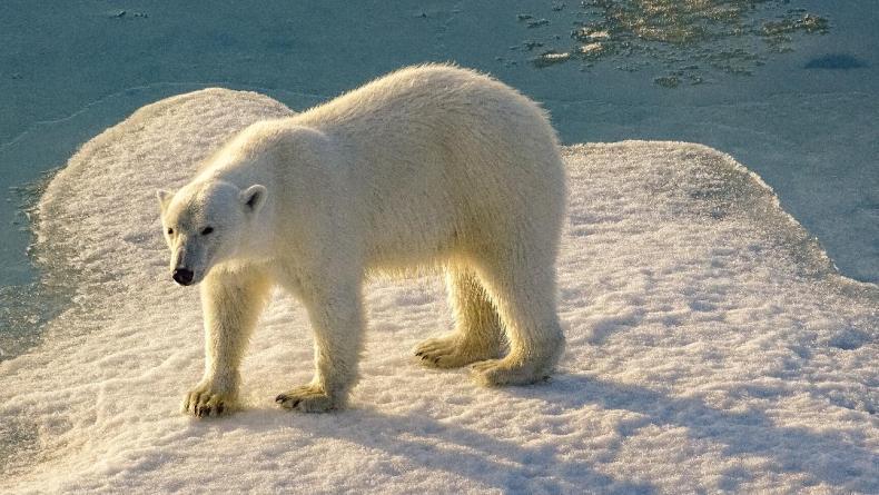 polarbearMG1