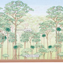 Diagram Of A Tropical Forest 2001 Ford F150 Factory Stereo Wiring Gcse Revision Notes Unit 1 Challenges For The Planet Vast Numbers Epiphytes Green Plants That Grow On Trunks And Branches But Not Parasitic