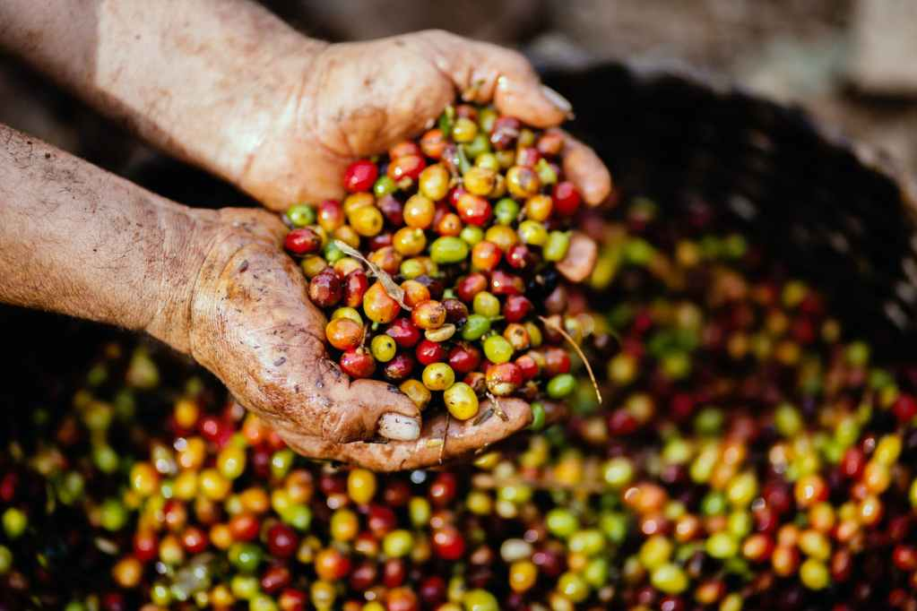 7 problems facing coffee farming in Kenya
