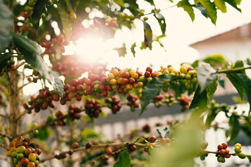 Conditions favoring coffee farming in east Africa