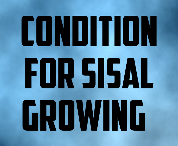 Conditions for sisal farming