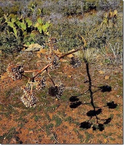 01 Dead century plant stalk & shadow Weaver Mts Yarnell AZ (876x1024)