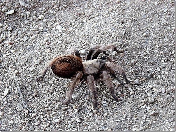 02e Female tarantula Yarnell AZ (1024x768)