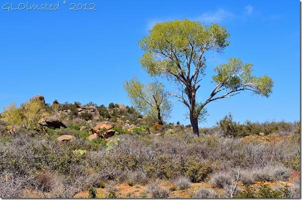 03araw Poplar by pond Weaver Mts Yarnell AZ