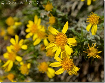 04a Flowering brittlebush Weaver Mts Yarnell AZ
