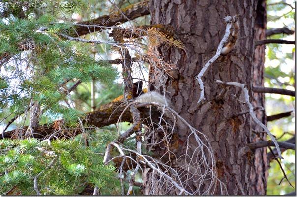 01e Kaibab squirrel NR GRCA NP AZ (1024x678)