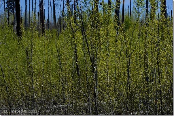 02e Aspen leafing Walhalla Plateau NR GRCA NP AZ (1024x678)