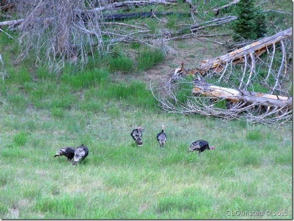 12e Merriam turkeys NR GRCA NP AZ (1024x768)