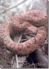Pink rattlesnake NPS photo