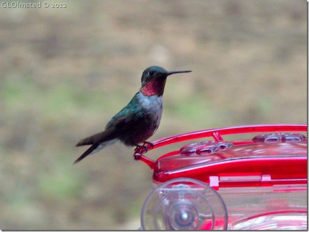 02 Male broad-tailed hummingbird NR GRCA NP AZ (1024x768)