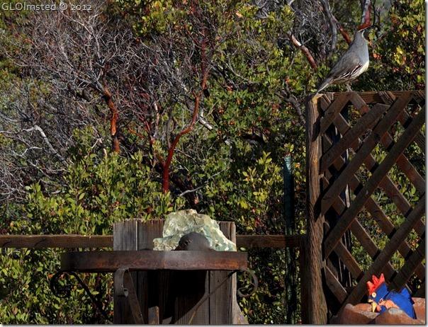 02e Gambel quail on fence at Berta's Yarnell AZ (1024x782)