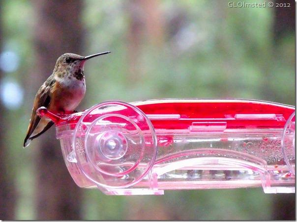 04 Rufous hummingbird NR GRCA NP AZ (1024x767)