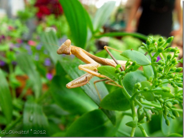 01 Chinese Mantis at Berta's Yarnell AZ (1024x768)