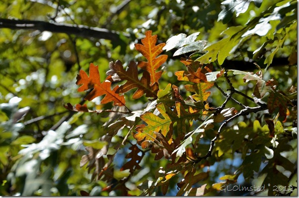 01 Gambel oak leaves turning color NR GRCA NP AZ (1024x678)