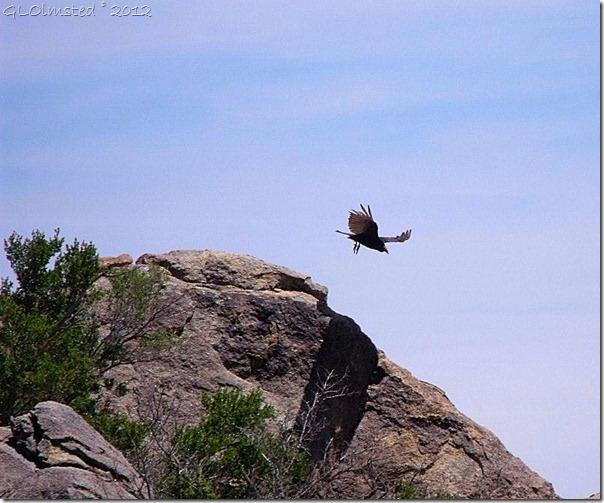 01 Turkey vulture Weaver Mts Yarnell AZ (800x665) (800x665)