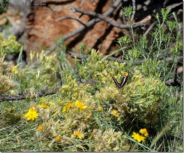 02 Arizona Sister butterfly Walhalla Plateau NR GRCA NP AZ (1024x852)