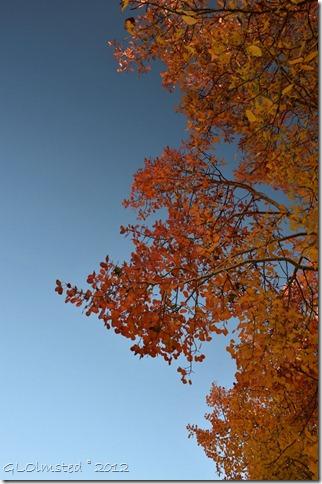 02 Orange & gold aspen against the sky Kaibab NF AZ (678x1024)