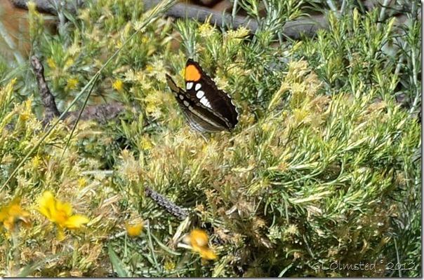 06 Arizona Sister butterfly Walhalla Plateau NR GRCA NP AZ (749x494)