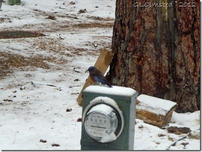 03 Western bluebird & snow NR GRCA NP AZ (1024x768)