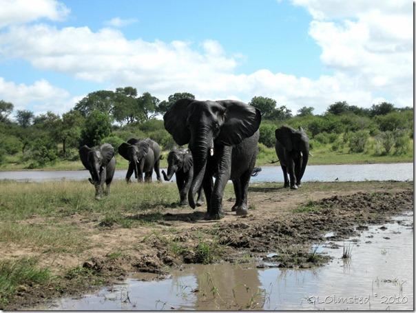 03 Elephants Kruger NP Mpumalanga ZA (1024x768)