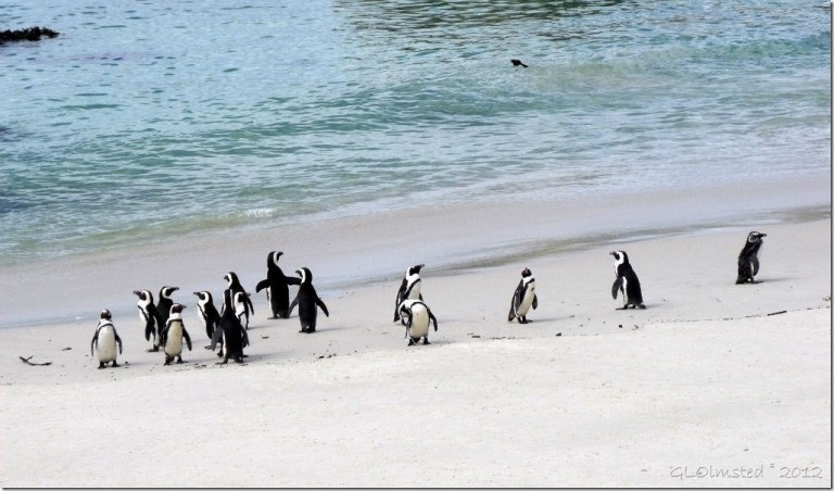 Penguins beach ocean Boulders Table Mountain National Park Simon's Town Cape Peninsula South Africa