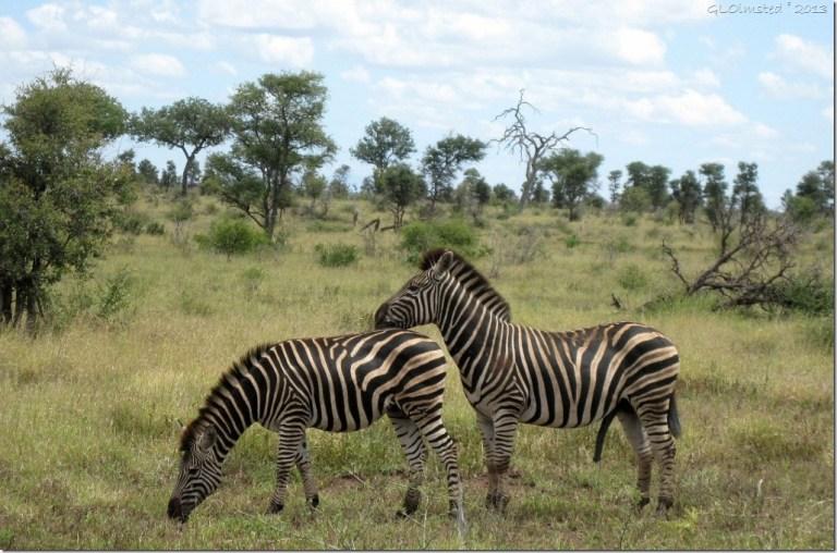 Zebra Kruger NP Mpumalanga ZA