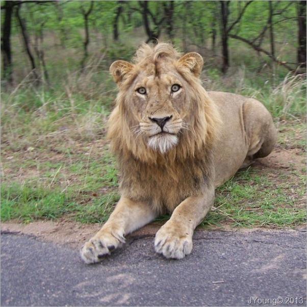 Young Lion Kruger National Park South Africa