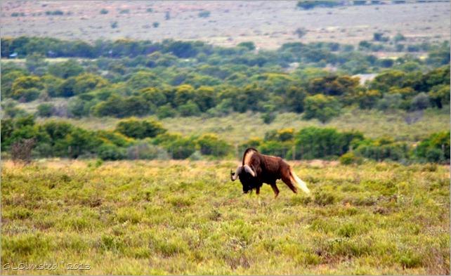 Black Wildebeest Mountain Zebra National Park South Africa