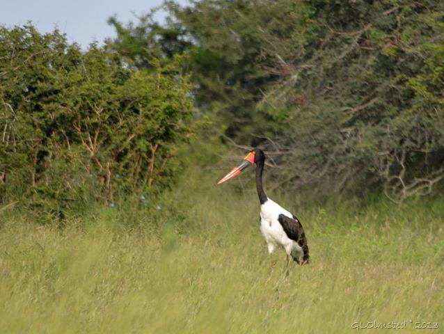 Saddlebill stork Kruger NP SA