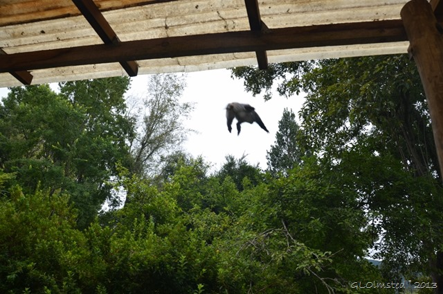 Samango monkey Hogsback SA