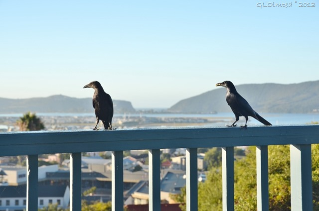 Redwing Starlings at Guinea Fowl Lodge Knysna SA