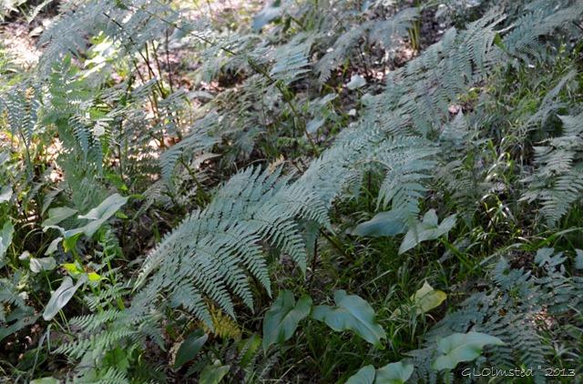 Ferns Hogsback Arboretum SA