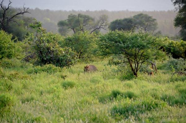Lions Kruger NP SA