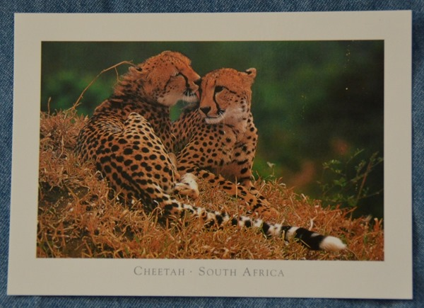 Cheetah postcard from SA